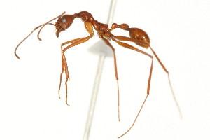 (Aphaenogaster MAS001 - 08COSTA-0836)  @16 [ ] Unspecified (default): All Rights Reserved  Unspecified Unspecified