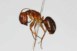 (Camponotus MAS023 - 08COSTA-1540)  @14 [ ] Unspecified (default): All Rights Reserved  Unspecified Unspecified