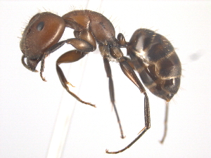 (Camponotus integellus - 10COSTA-0090)  @15 [ ] Unspecified (default): All Rights Reserved  Unspecified Unspecified