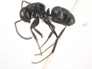 (Camponotus excisus - 10COSTA-0211)  @14 [ ] Unspecified (default): All Rights Reserved  Unspecified Unspecified