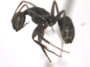 (Camponotus MAS005 - 10COSTA-0452)  @14 [ ] Unspecified (default): All Rights Reserved  Unspecified Unspecified