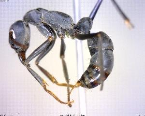 (Pachycondyla MAS015_verenae - BIOUG00809-G10)  @15 [ ] CreativeCommons - Attribution Non-Commercial Share-Alike (2011) M. Alex Smith Biodiversity Institute of Ontario