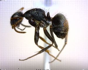 (Camponotus planatus - BIOUG01324-F09)  @15 [ ] CreativeCommons - Attribution Non-Commercial Share-Alike (2011) M. Alex Smith Biodiversity Institute of Ontario