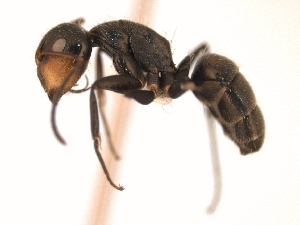 (Camponotus MAS017 - 08COSTA-0139)  @15 [ ] Unspecified (default): All Rights Reserved  Unspecified Unspecified