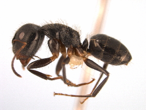 (Camponotus MAS020 - 08COSTA-0334)  @15 [ ] Unspecified (default): All Rights Reserved  Unspecified Unspecified