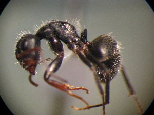 (Camponotus MAS012 - MAS451-08)  @14 [ ] Unspecified (default): All Rights Reserved  Unspecified Unspecified