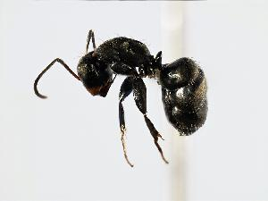(Camponotus novogranadensis - MAS009-08)  @16 [ ] CreativeCommons - Attribution Non-Commercial Share-Alike (2008) BIO Photography Group Biodiversity Institute of Ontario