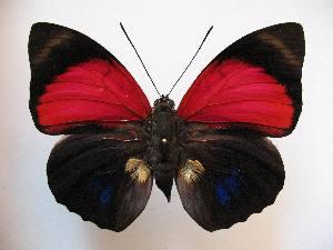 (Prepona - BC-MNHNJP1086)  @16 [ ] Copyright (2010) Jacques Pierre Museum National d`Histoire Naturelle, Paris