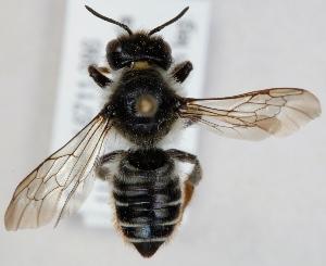 (Megachile lapponica - FACU-000098)  @15 [ ] CreativeCommons - Attribution Non-Commercial (2012) Marko Mutanen University of Oulu