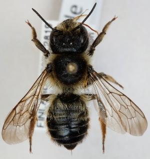 (Megachile ligniseca - FACU-000103)  @15 [ ] CreativeCommons - Attribution Non-Commercial (2012) Marko Mutanen University of Oulu