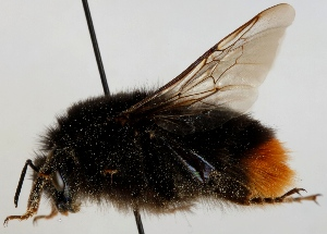 (Bombus lapidarius - FACU-000812)  @14 [ ] CreativeCommons - Attribution Non-Commercial (2012) Marko Mutanen University of Oulu