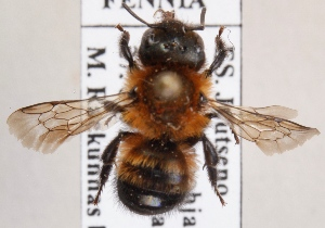 (Osmia pilicornis - GL.2873)  @14 [ ] CreativeCommons - Attribution Non-Commercial (2014) Marko Mutanen University of Oulu