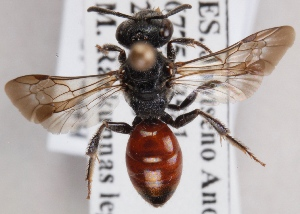 (Sphecodes reticulatus - GL.2890)  @14 [ ] by-nc (2014) Marko Mutanen University of Oulu