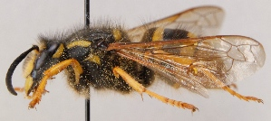 (Dolichovespula sylvestris - GL.2937)  @14 [ ] by-nc (2014) Marko Mutanen University of Oulu