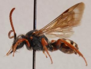 (Pemphredon flavistigma - GP.93225)  @11 [ ] by-nc (2014) Marko Mutanen University of Oulu