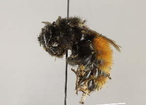 (Bombus lapponicus - MZH_GP.94728)  @11 [ ] by-nc - Creative Commons - Attribution Non-Commercial (2012) Juho Paukkunen Finnish Museum of Natural History