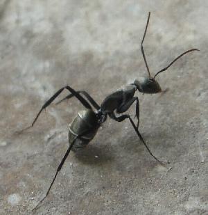 (Camponotus parius - AAI_06)  @13 [ ] Unspecified (default): All Rights Reserved  Unspecified Unspecified