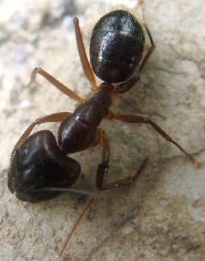 (Camponotus compressus - AAI_24)  @13 [ ] Unspecified (default): All Rights Reserved  Unspecified Unspecified