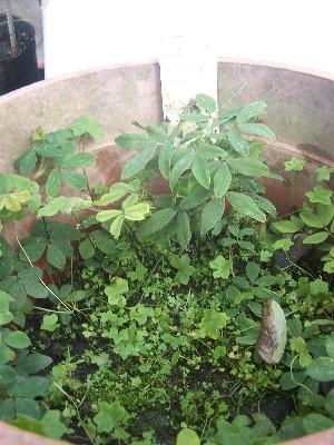 (Arachis palustris - IBONESeijoAra-3)  @11 [ ] Copyright (2016) IBONE IBONE