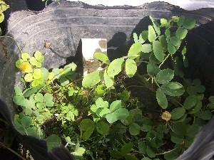 (Arachis cardenasii - IBONESeijoAra-37)  @11 [ ] Copyright (2016) IBONE IBONE
