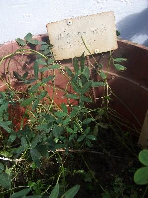(Arachis benensis - IBONESeijoAra-45)  @11 [ ] Copyright (2016) IBONE IBONE