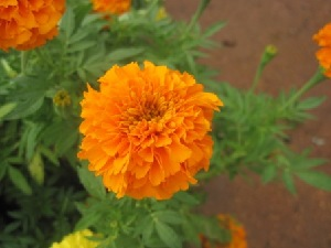 (Tagetes - B110)  @11 [ ] Copyright (2014) PHCDBS Paul Hebert Centre For DNA Barcoding And Biodiversity Studies
