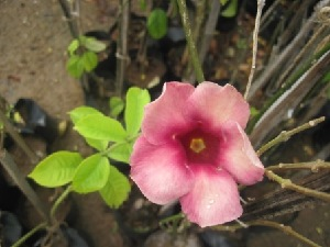 (Allamanda - B113)  @11 [ ] Copyright (2014) PHCDBS Paul Hebert Centre For DNA Barcoding And Biodiversity Studies