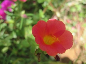 (Portulaca - B157)  @11 [ ] Copyright (2014) PHCDBS Paul Hebert Centre For DNA Barcoding And Biodiversity Studies