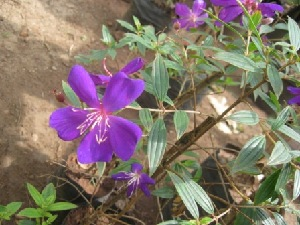 (Tibouchina - B196)  @11 [ ] C (2014) PHCDBS Pual Hebert Centre For DNA Barcoding AND Biodiversity Studies