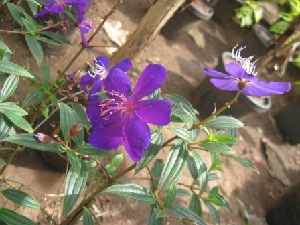 (Tibouchina - B196)  @11 [ ] Copyright (2014) PHCDBS Pual Hebert Centre For DNA Barcoding AND Biodiversity Studies