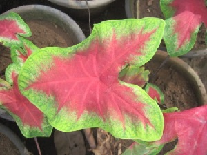 (Caladium - B238.1)  @11 [ ] Copyright (2014) PHCDBS Pual Hebert Centre For DNA Barcoding AND Biodiversity Studies