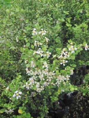 (Malpighiaceae - B271)  @11 [ ] C (2014) PHCDBS Pual Hebert Centre For DNA Barcoding AND Biodiversity Studies