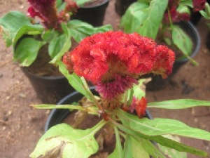 (Celosia cristata - B58)  @11 [ ] Copyright (2014) PHCDBS Paul Hebert Centre For DNA Barcoding And Biodiversity Studies