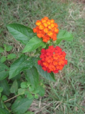 (Lantana horrida - B99)  @11 [ ] Copyright (2014) PHCDBS Paul Hebert Centre For DNA Barcoding And Biodiversity Studies