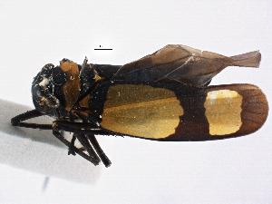 (Mileewinae - CNC#HEM 305309)  @11 [ ] CreativeCommons - Attribution Non-Commercial Share-Alike (2013) BIO Photography Group Biodiversity Institute of Ontario