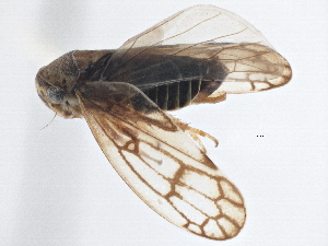 (Eurymelinae - CNC#HEM305606)  @16 [ ] CreativeCommons - Attribution Non-Commercial Share-Alike (2014) CBG Photography Group Centre for Biodiversity Genomics