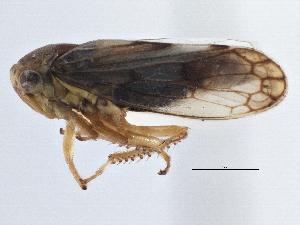 (Eurymelinae - CNC#HEM305640)  @15 [ ] CreativeCommons - Attribution Non-Commercial Share-Alike (2014) BIO Photography Group Biodiversity Institute of Ontario