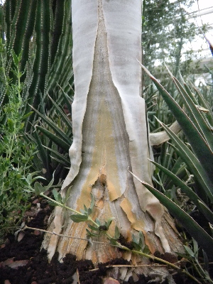 (Aloe dichotoma subsp. pillansii - BHD390)  @12 [ ] No Rights Reserved  Olivier Maurin University of Johannesburg