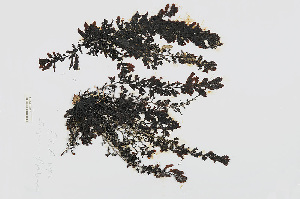 (Sargassum platycarpum - L.3960401)  @11 [ ] CreativeCommons Attribution Non-Commercial Share-Alike (2016) Unspecified Naturalis Biodiversity Center