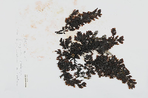 (Sargassum polyceratium var. ovatum - L.3960425)  @11 [ ] CreativeCommons Attribution Non-Commercial Share-Alike (2016) Unspecified Naturalis Biodiversity Center