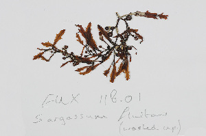 (Sargassum fluitans - L.3960453)  @11 [ ] CreativeCommons Attribution Non-Commercial Share-Alike (2016) Unspecified Naturalis Biodiversity Center