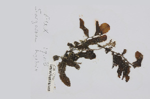 (Sargassum hystrix - L.3960221)  @11 [ ] CreativeCommons Attribution Non-Commercial Share-Alike (2016) Unspecified Naturalis Biodiversity Center