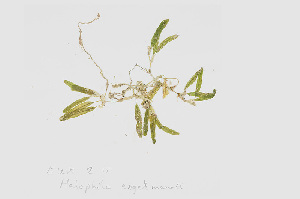 (Halophila - L.3960038)  @11 [ ] CreativeCommons Attribution Non-Commercial Share-Alike (2016) Unspecified Naturalis Biodiversity Center