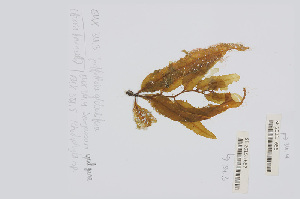 (Sargassum vulgare - L.3960307)  @11 [ ] CreativeCommons Attribution Non-Commercial Share-Alike (2016) Unspecified Naturalis Biodiversity Center