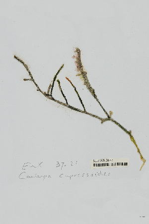 (Caulerpa cupressoides var. flabellata - L.3960326)  @11 [ ] CreativeCommons Attribution Non-Commercial Share-Alike (2016) Unspecified Naturalis Biodiversity Center