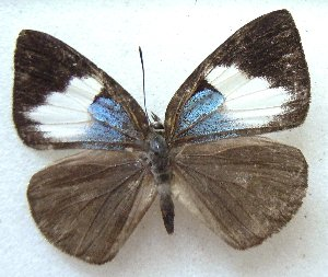 (Poritiinae - MLIB-1486)  @14 [ ] CreativeCommons - Attribution Non-Commercial Share-Alike (2014) Michel Libert Centre for Biodiversity Genomics
