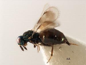 (Euderinae - 11ANIC-17506-LEG)  @11 [ ] CreativeCommons - Attribution Non-Commercial Share-Alike (2011) ANIC/BIO Photography Group ANIC/Biodiversity Institute of Ontario