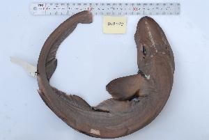 (Apristurus platyrhynchus - BPS-0181)  @13 [ ] Copyright (2013) Samuel P. Iglesias Museum national d'Histoire naturelle