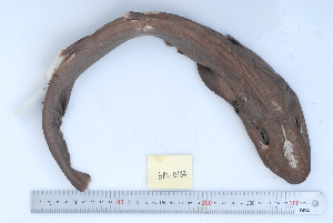 (Apristurus platyrhynchus - BPS-0182)  @13 [ ] Copyright (2013) Samuel P. Iglesias Museum national d'Histoire naturelle