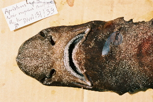 ( - BPS-0185)  @12 [ ] Copyright (2002) Samuel P. Iglesias Museum national d'Histoire naturelle